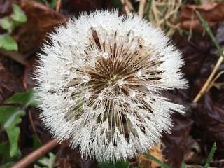 Damp dandelion | by Fluffymuppet