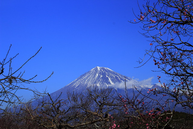 Ume Blossom and Mt.Fuji,Iwamoto Mountain Park