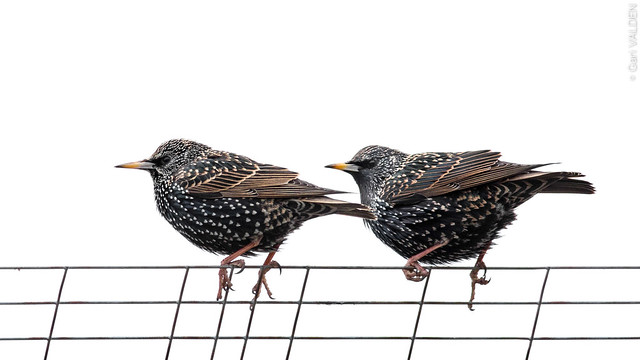 Starlings (Etourneaux)