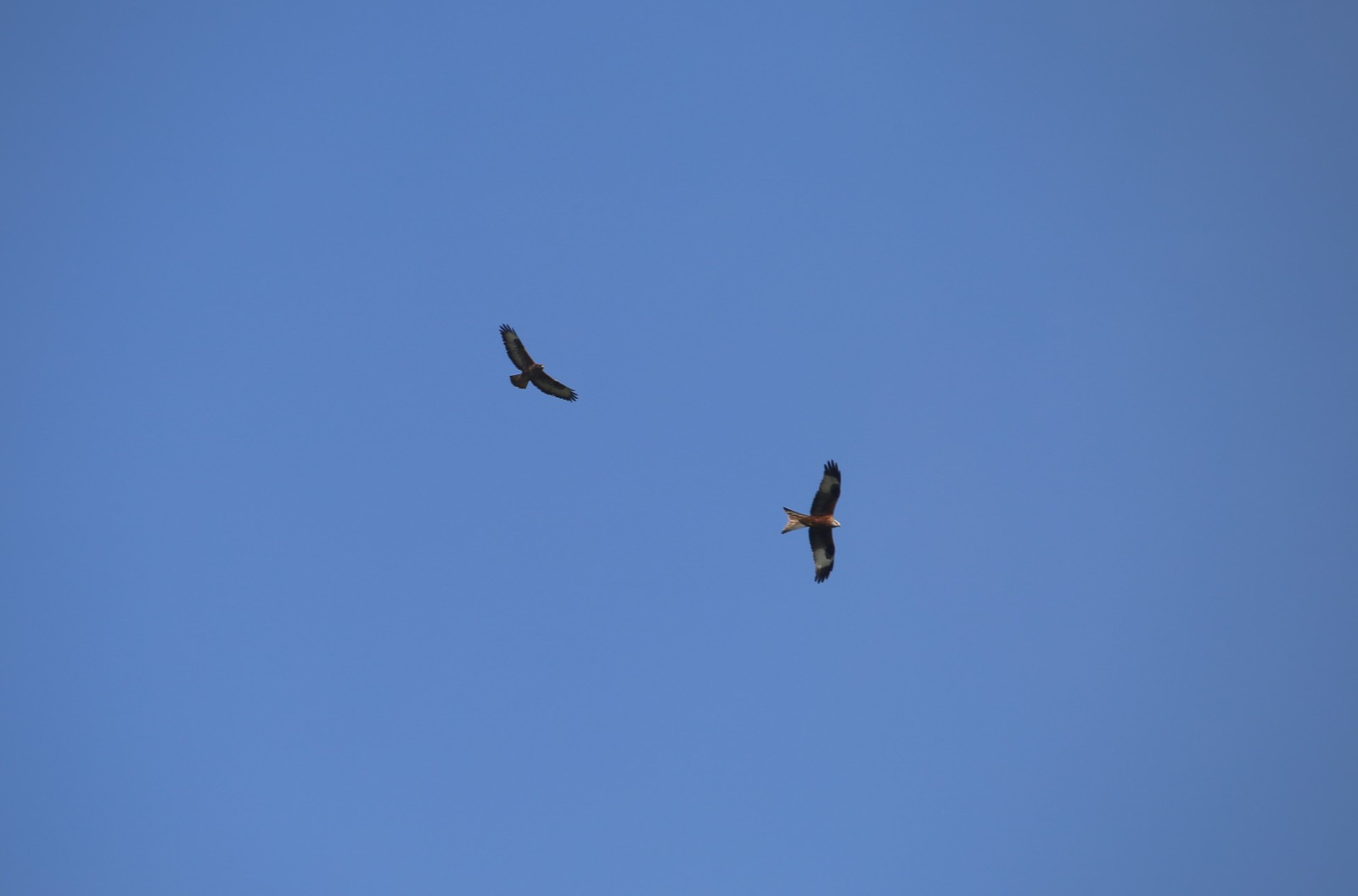Buzzard and Kite over Hambleden