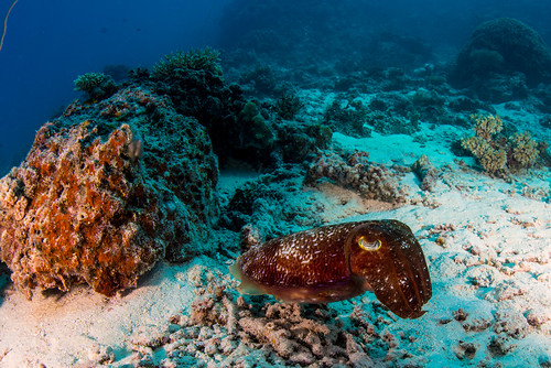 broadclub cuttlefish | by b.campbell65