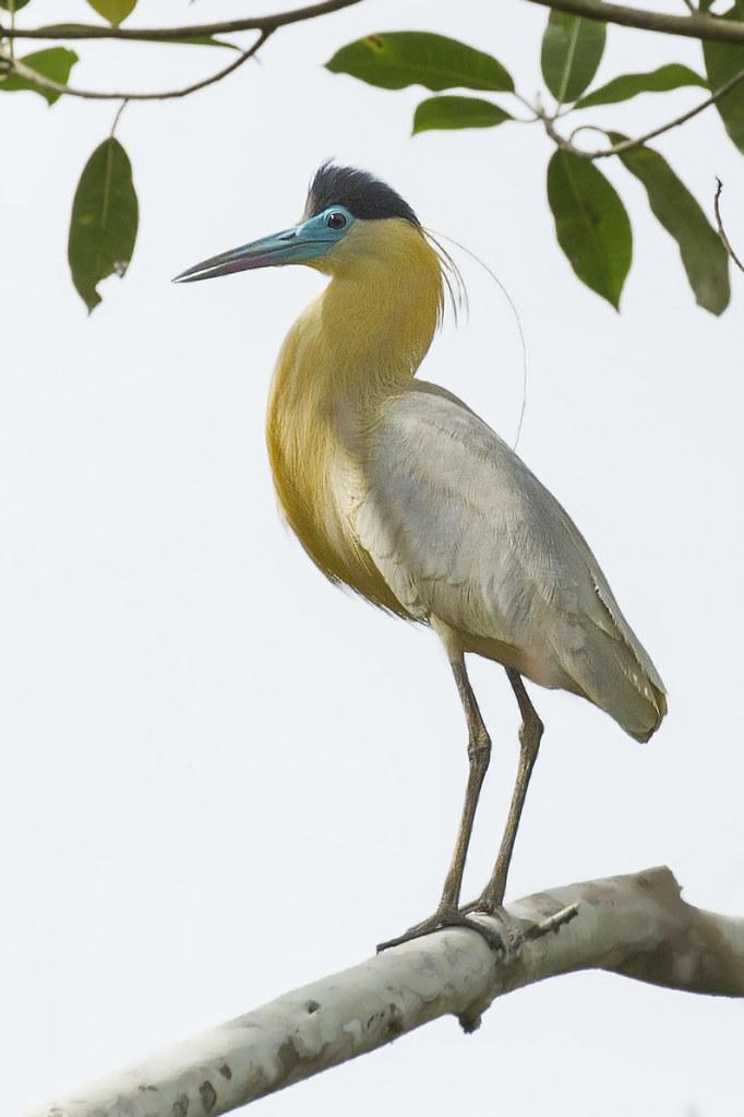 Capped Heron Pilherodius pileatus) 3 032219