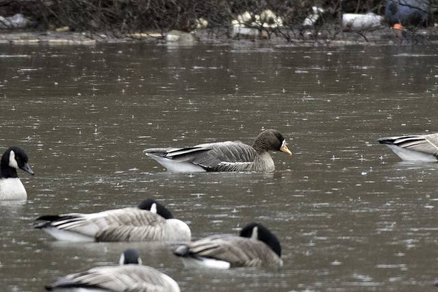 Westchester, NY: Greater White-fronted Goose 1