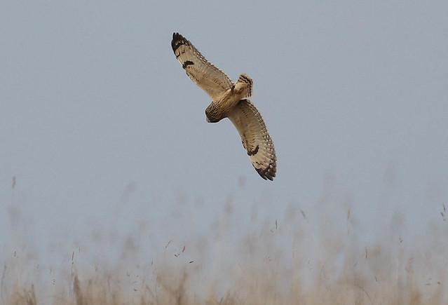 Short Eared Owl Asio flammeus 011-1