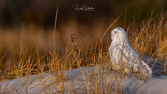 Snowy Owls of New Jersey   2018 - 48