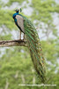 Blue Peafowl (Pavo cristatus), male DSC_0621 by fotosynthesys