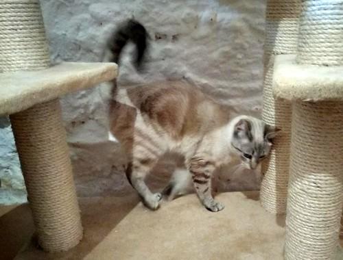 Teryl, preciosa gata siamesa tabby esterilizada nacida en Septiembre´18, en adopción. Valencia. ADOPTADA. 46312486655_3f8db3ac7c