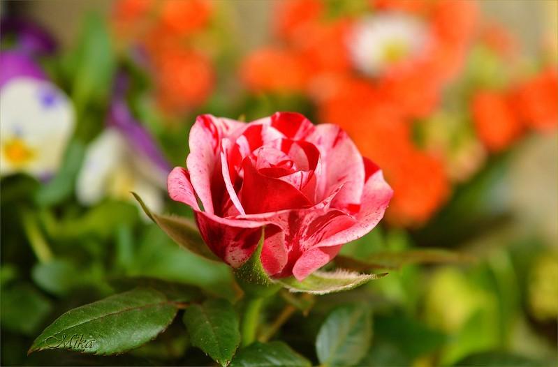 Обои Роза, Rose, Flowers картинки на рабочий стол, раздел цветы - скачать