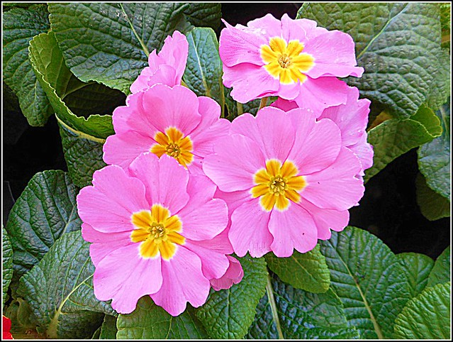 Lovely Pink Primrose ..