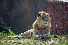 Beauval's Lion