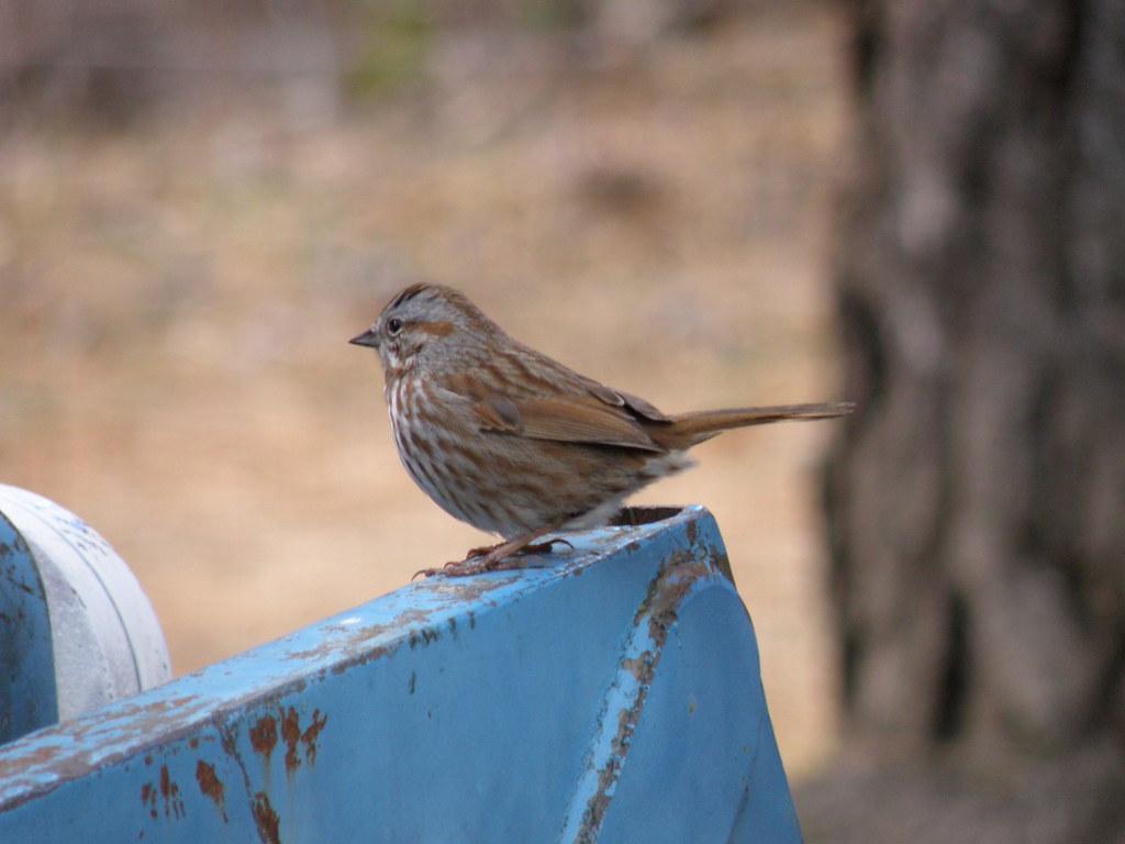 P4060970 Song Sparrow
