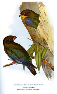 Dollar Bird (Eurystomas australis, Swainson)  Insectivorous Birds of New South Wales