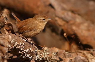Winter Wren | by andrewj1882