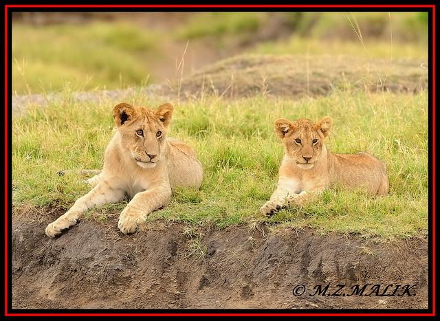 PAIR OF LION CUBS (Panthera leo)....MASAI MARA.....OCT 2012