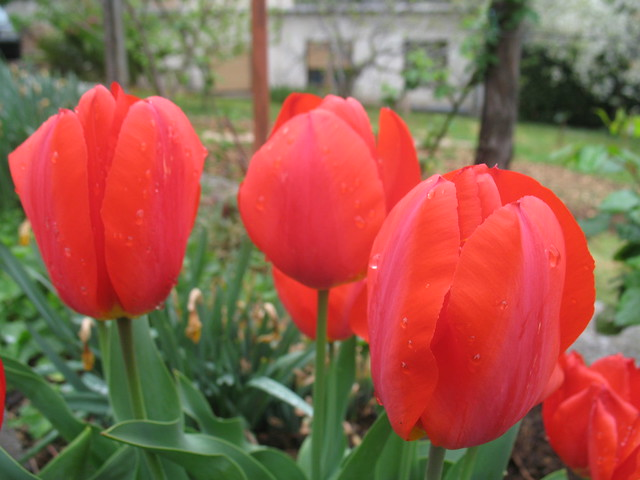 Tulips, morning