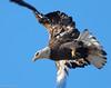 Bald Eagle by Ceredig Roberts