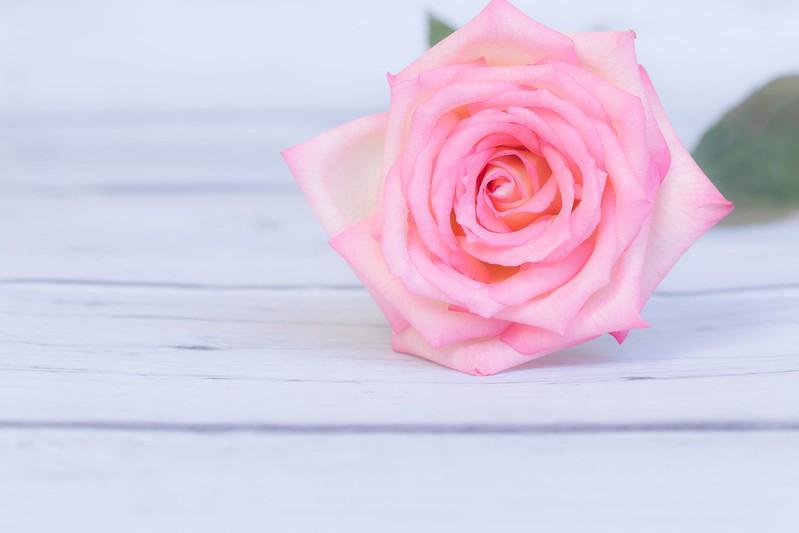 Обои цветок, розовая, роза, rose, flower, wood, pink картинки на рабочий стол, раздел цветы - скачать