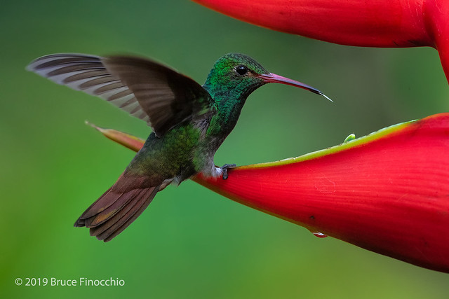 Rufous-tailed Hummingbird Sips Water and Nectar From A Heliconias Blossom
