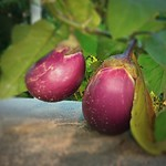 Purple egg plant, 矮瓜,紫茄,茄子