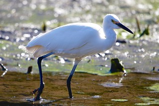 Little Egret | by hiromakuharisato