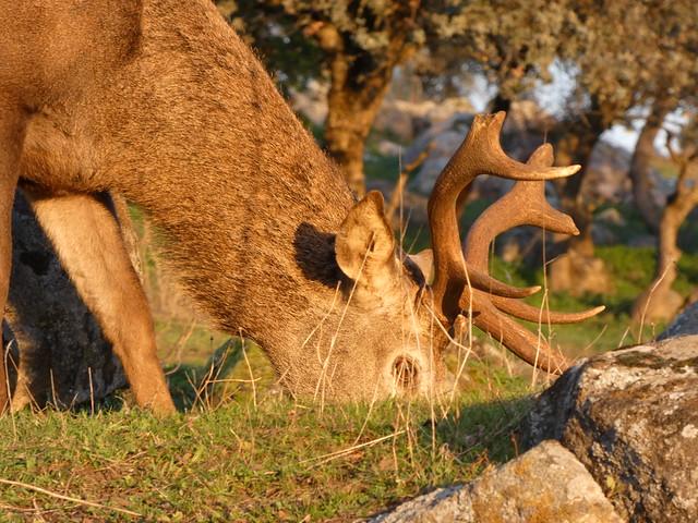 Ciervo en el Parque Natural Tajo Internacional (Berrea)