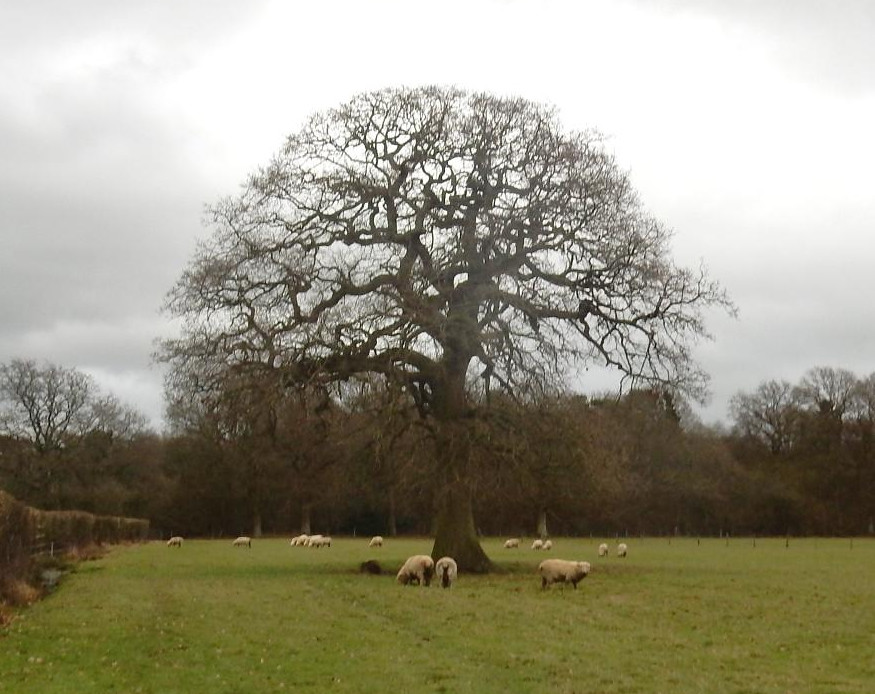 Sheep and tree Holmwood to Reigate