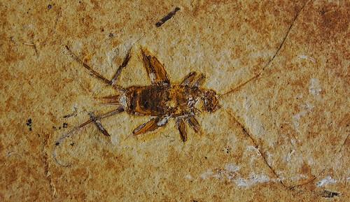 Fossil cricket.