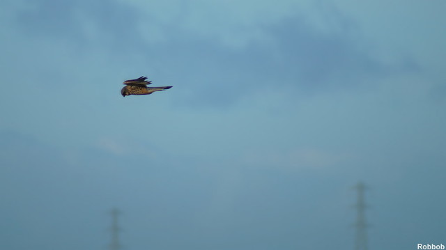 Male Kestrel hunting for food at Lunt Meadows,Crosby.