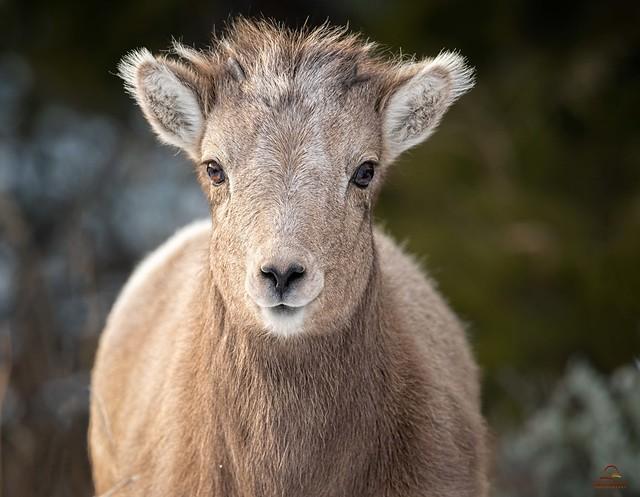 Inquisitive Bighorn Lamb