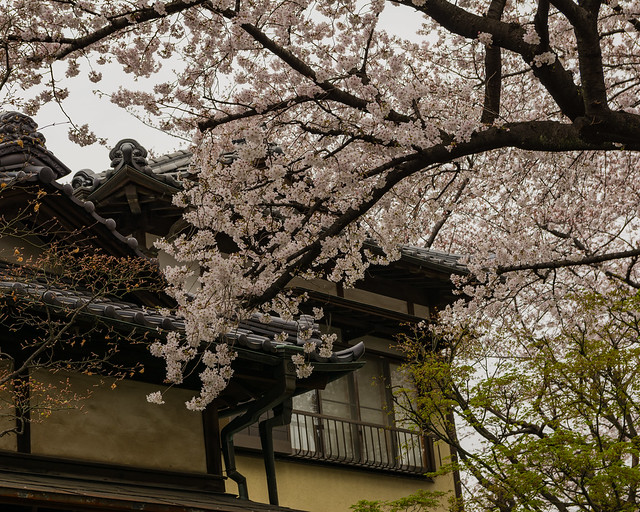 Sakura & buildings