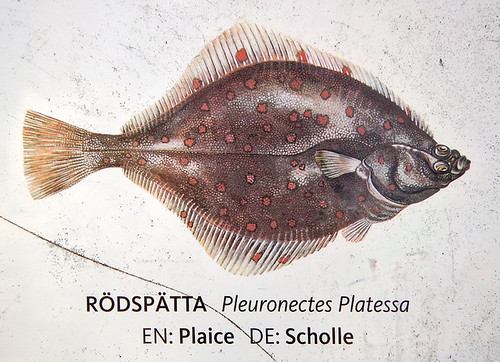 Illustration of a favourite fish dish: Redspot / Rödspätta (Plaice in English)