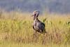 Shoebill (Balaeniceps rex) by TrekLightly