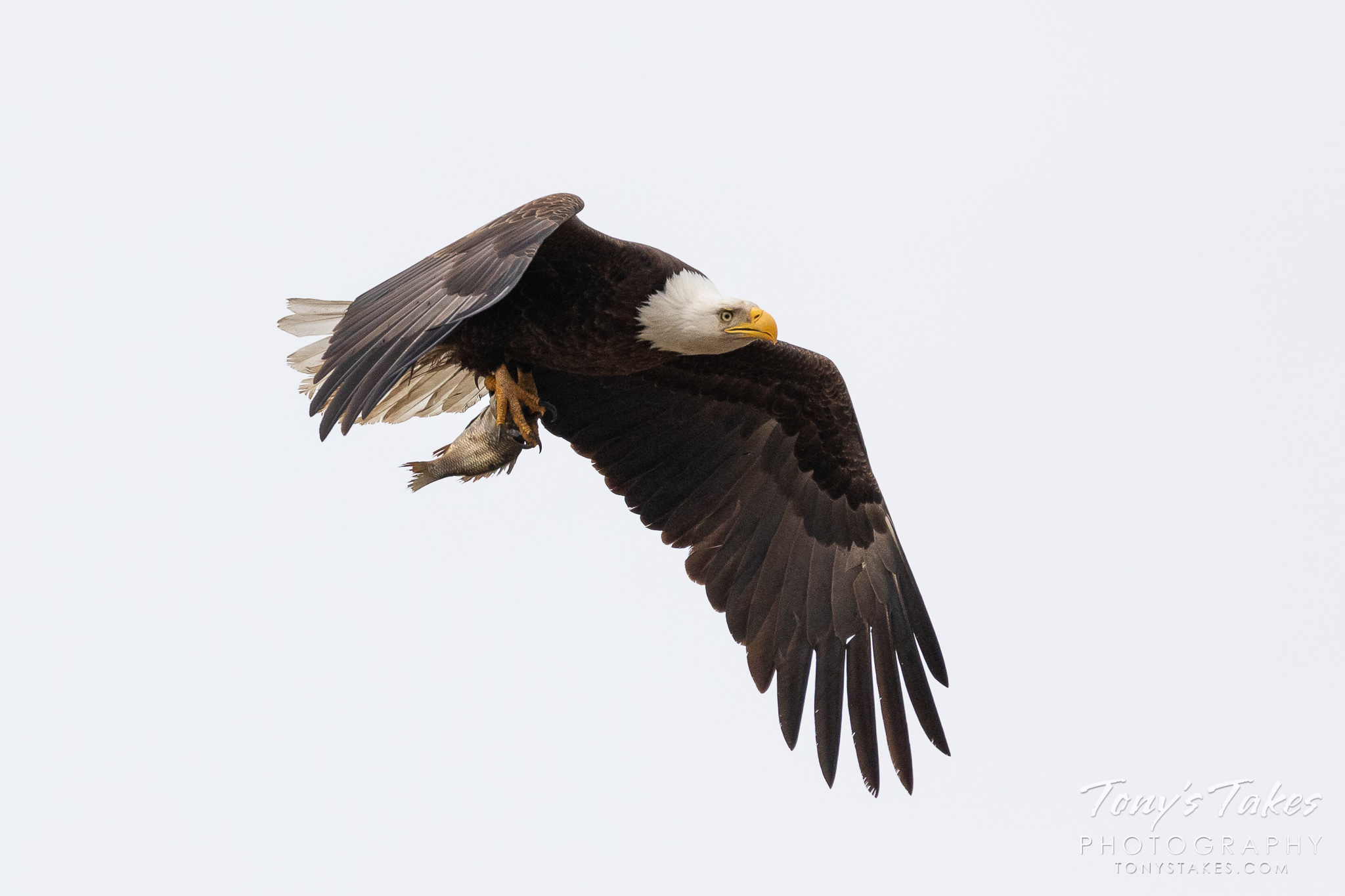 A female bald eagle returns to her nest with a fish for her offspring. (© Tony's Takes)
