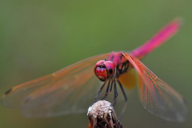Male Scarlet Skimmer or Ruddy Marsh Skimmer (Crocothemis Servilia)