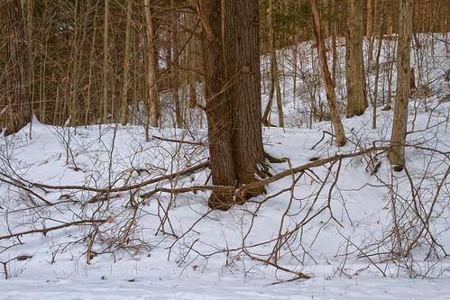 woods trees winter forest snow evening nature landscape pennsylvania bark branches tomscreek hike delawarewatergap quiet