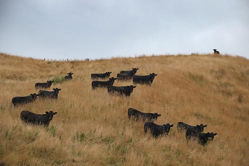 landscape taranaki manawapouviaductwalkway tearahīkoikitearawhitiomanawapou farm cattle