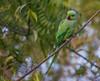 Parrot Looking