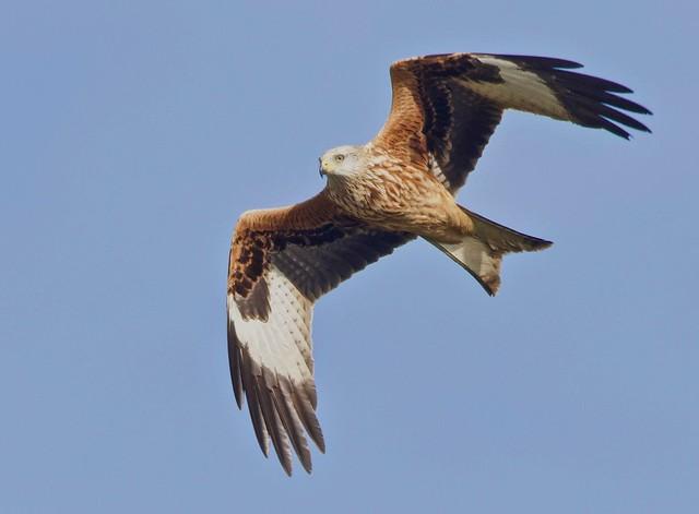 Red Kite Gliding