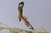 Long-legged Buzzard (Buteo rufinus) by Francisco Piedrahita