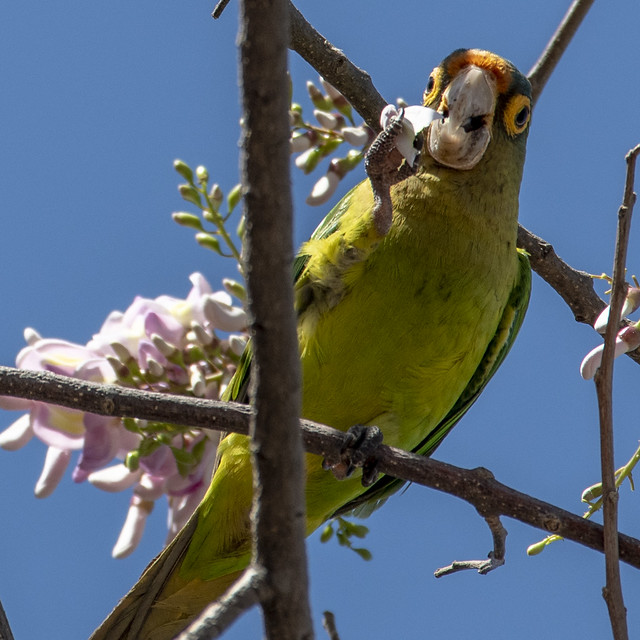 Orange Fronted Parakeet - Playa Conchal, Guanacaste Province, Costa Rica
