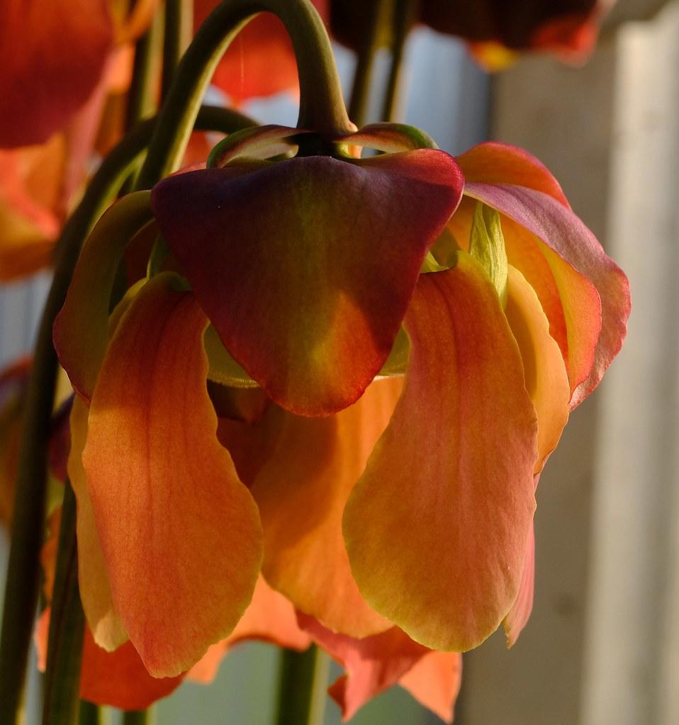 Sarracenia hibrid