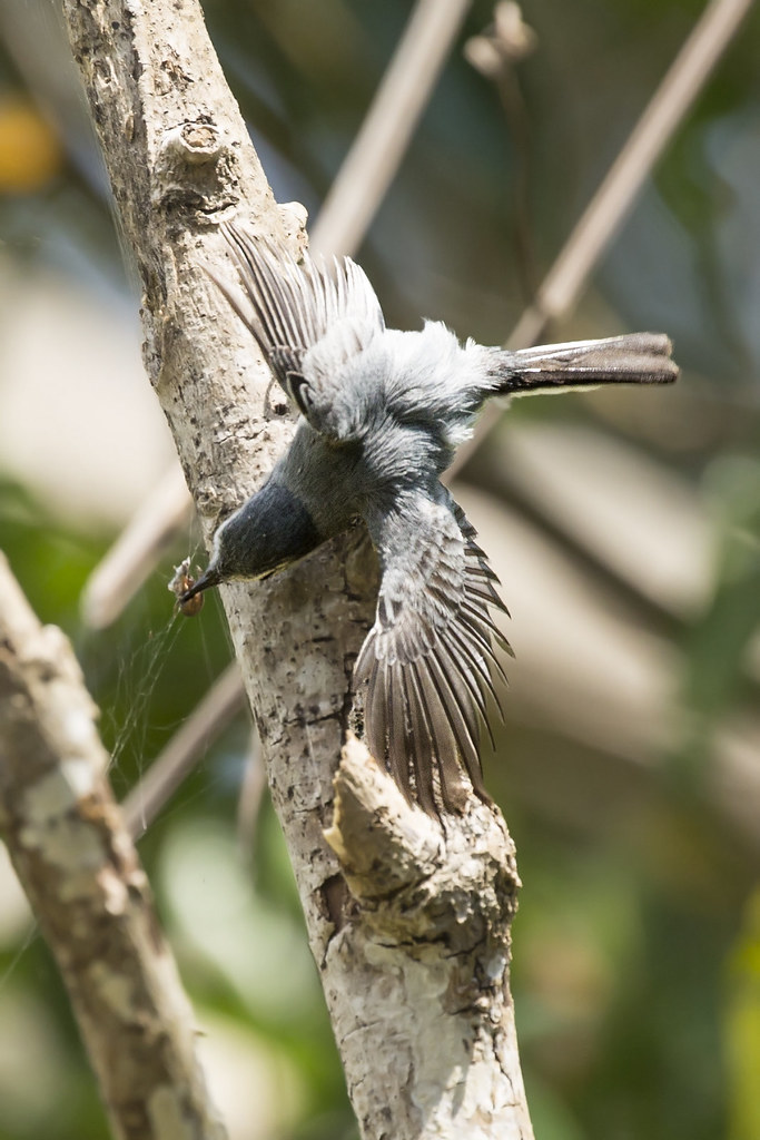 Tropical Gnatcatcher (Polioptila plumbea) 4 032019