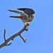 Flickr photo 'American Kestrel (Falco sparverius)' by: Mary Keim.
