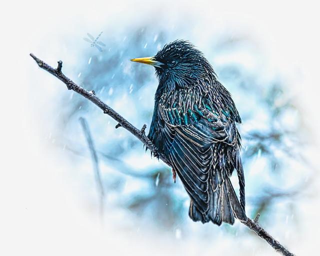 european starling (Sturnus vulgaris) . . .