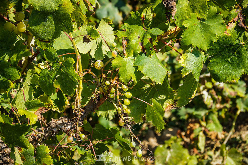 Racimo de uva en viña abandonada en Viladellops