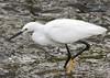 Snowy Egret by barbmerrill2