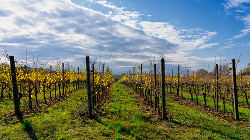 Vineyards of San Colombano, Italy | by clodio61
