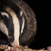 Badger hunting out its next meal (in Explore 25-03-19) by Thomas Winstone