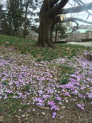 Purple crocuses, Brooklyn Botanic Garden