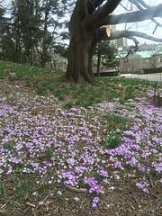 Purple crocuses, Brooklyn Botanic Garden